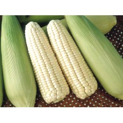 CORN 45: Cameron Highland White Sweet Corns 白珍珠玉米